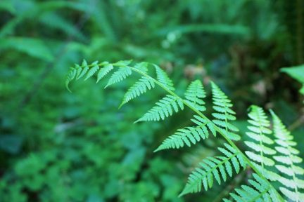 Nice fern in the forest.