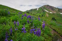 Endless flowers in the meadows before White Pass.