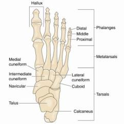 Bones In Your Foot Diagram Wrangler Tj Stereo Wiring Dislocated Toe The Three Joints Of A Are Made Up Strong Capsules That Form Around Each Joint Enclosing It And Preventing Either Boney Ends Interconnecting