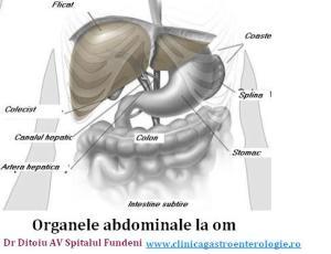 Organele din burta
