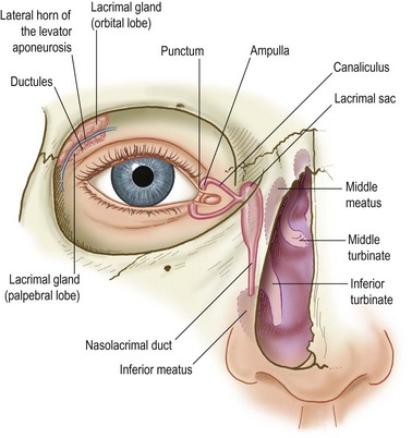 Eyelid Anatomy And Function Clinical Gate