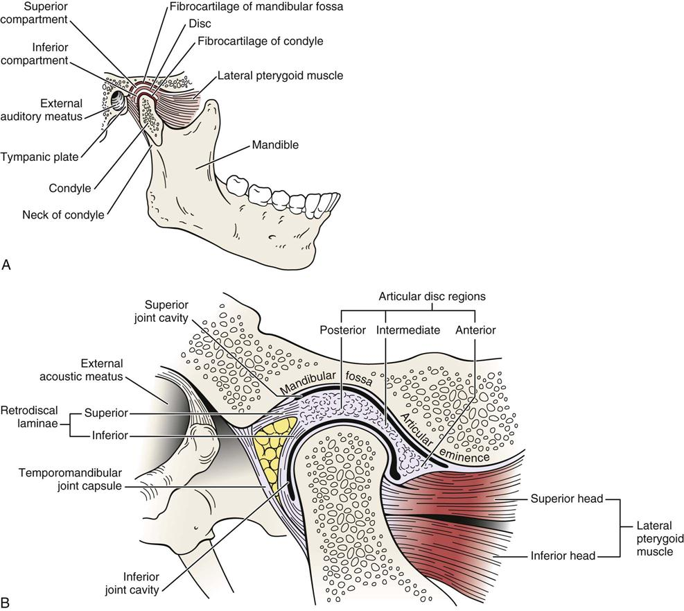 medium resolution of b close up of temporomandibular joint b redrawn from neumann da kinesiology of the musculoskeletal system foundations for physical rehabilitation