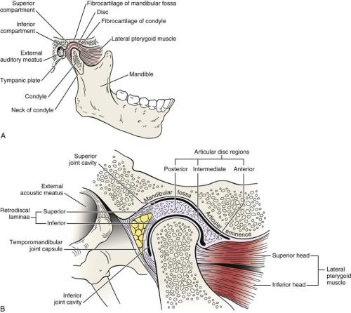 small resolution of b close up of temporomandibular joint b redrawn from neumann da kinesiology of the musculoskeletal system foundations for physical rehabilitation
