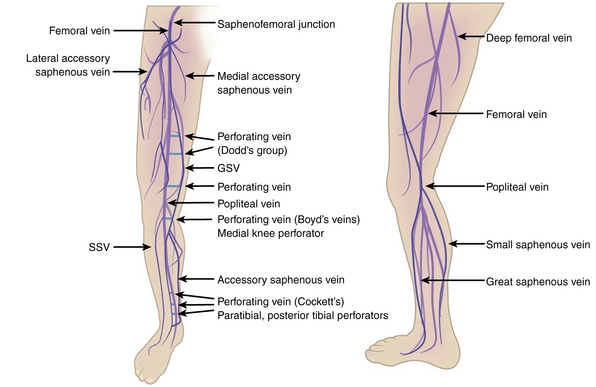 Image result for lower limb venous anatomy perforators