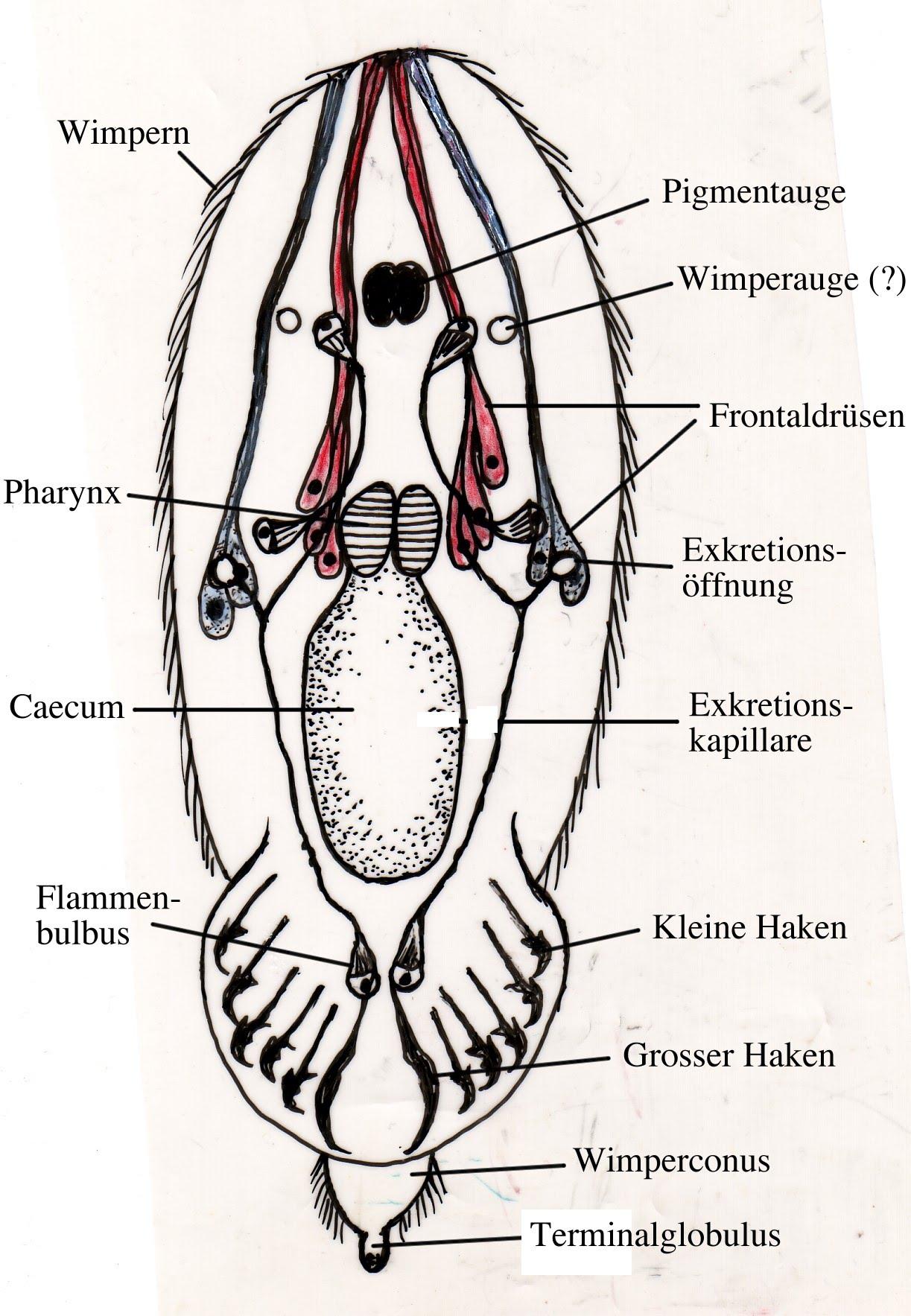 Monogenea Ektoparasitische Saugwurmer Platyhelminthen