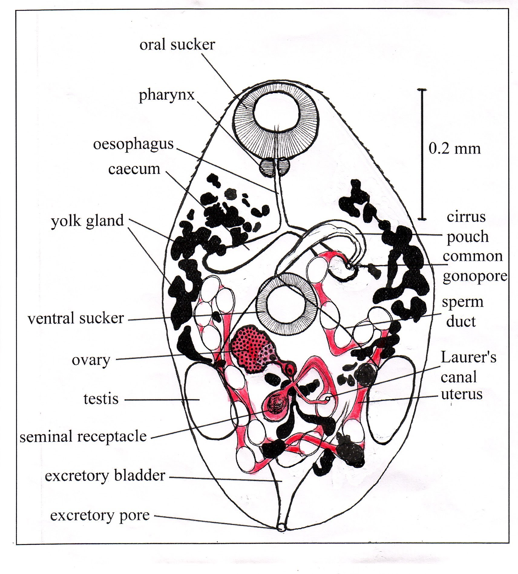 Figure 3 Generalized Diagram Of A Small Trematode Female