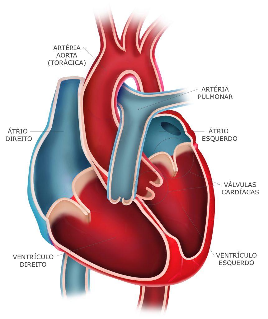 Anaotimia do coração. Sistema Cardiovascular