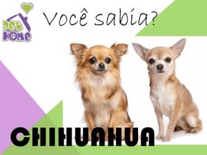 Você Sabia Chihuahua