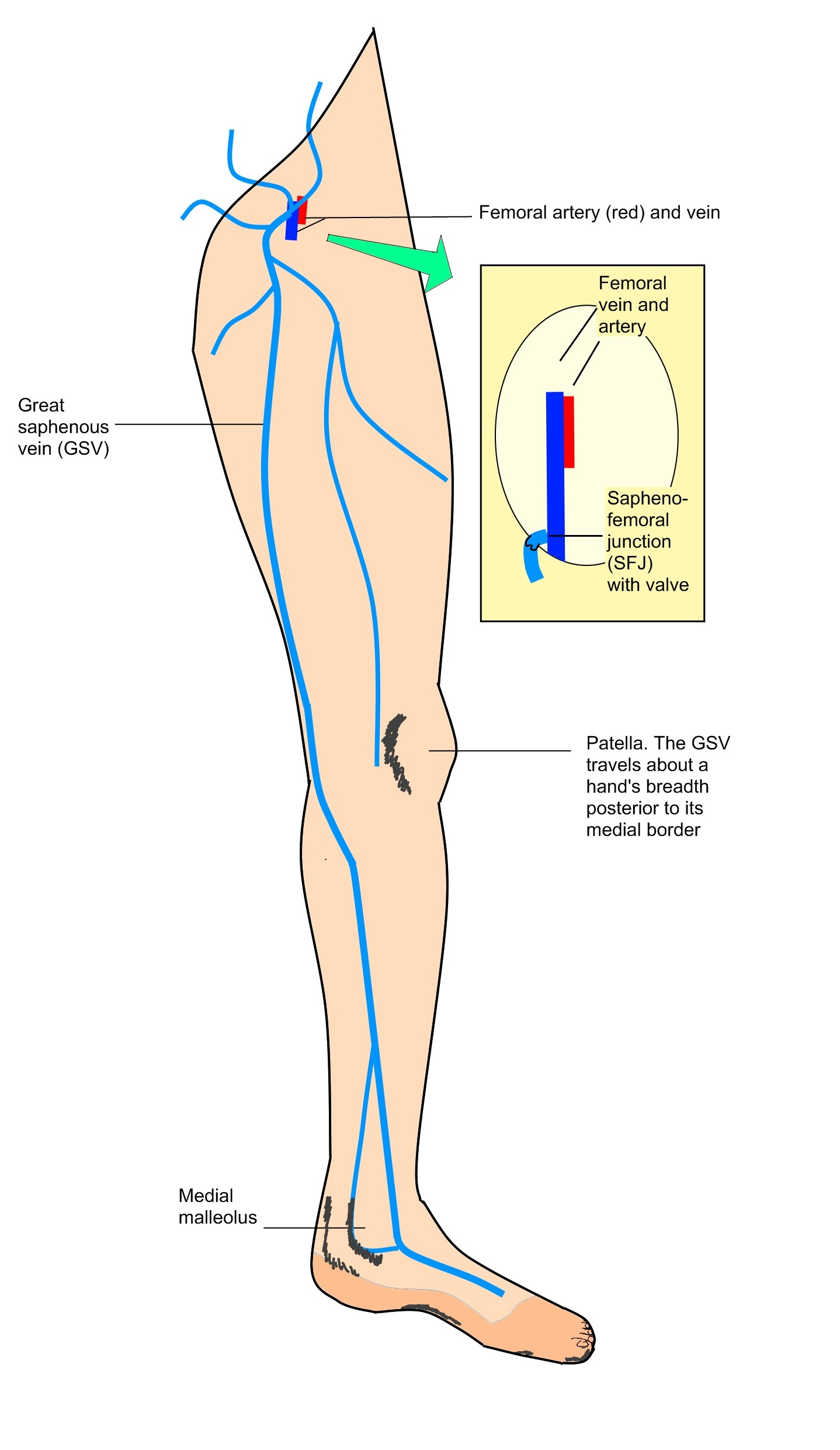 hight resolution of great saphenous vein diagram