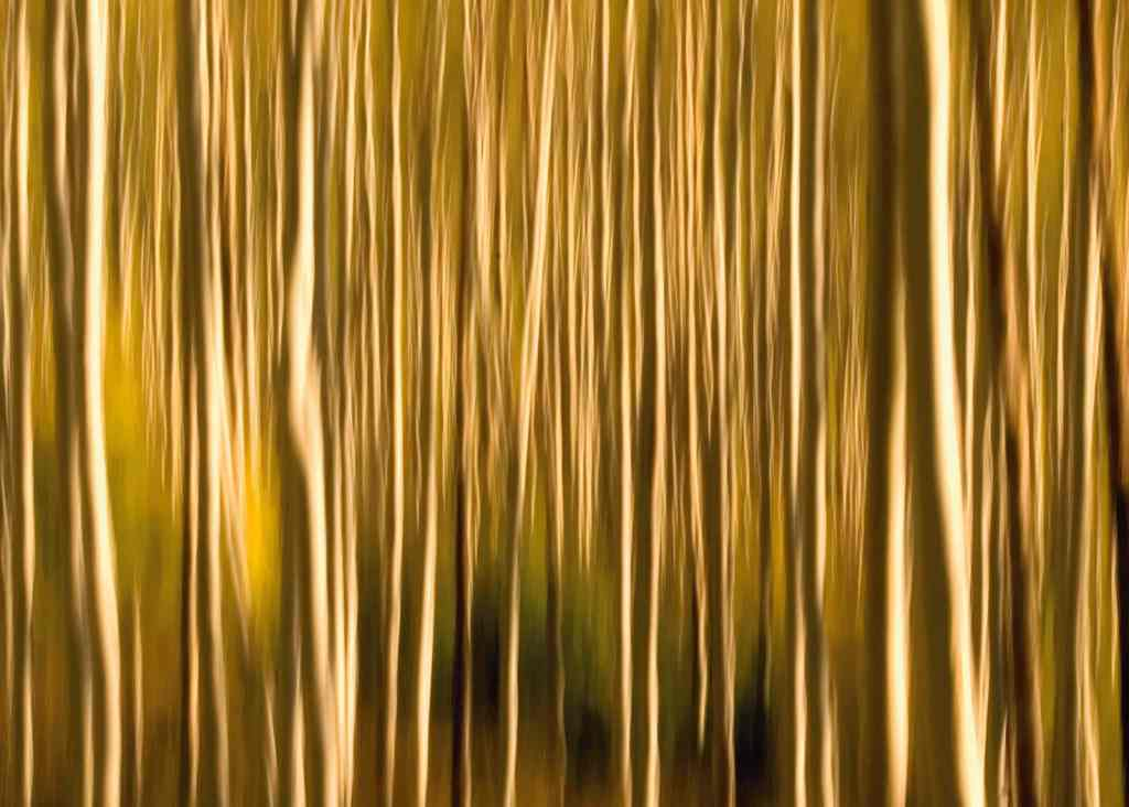 Artistic photographic of Aspen trunks in the fall created by dragging the shutter.