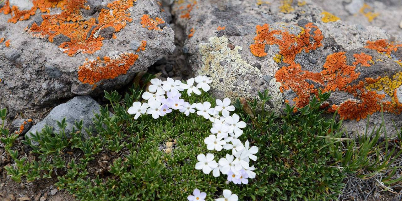 Alpine Wildflowers in the Tundra of West Elk Wilderness