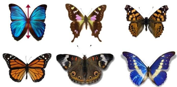 Un classico esempio di simmetria in natura: delle bellissime farfalle!