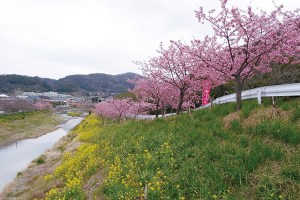 保田川沿いの頼朝桜(2月24日撮影)