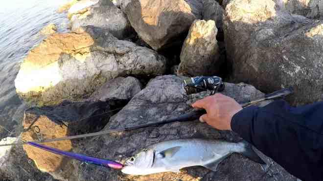 serra catturato con  needle narak 230-f canna labrax Seaspin mulinello shimano twin power xd