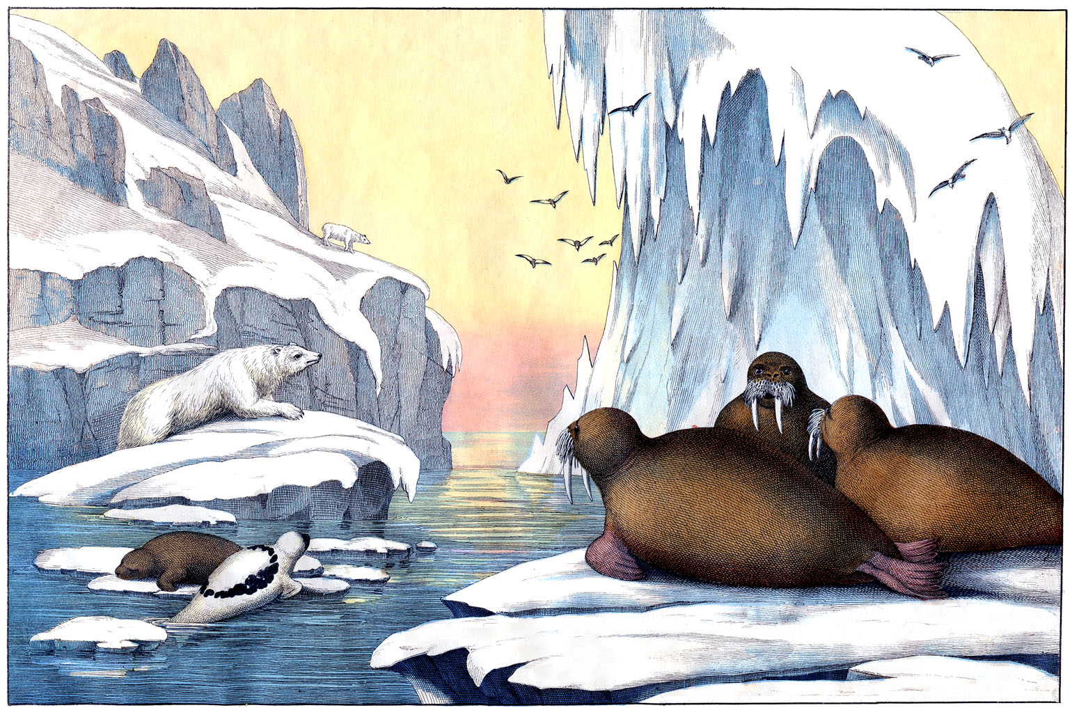 Free Arctic Cliparts Download Free Clip Art Free Clip Art On Clipart Library
