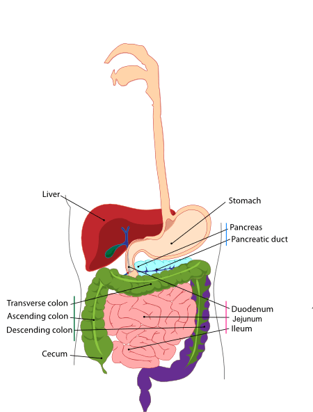 goat intestines diagram 2003 ford ranger wiring diagrams free intestine cliparts, download clip art, art on clipart library