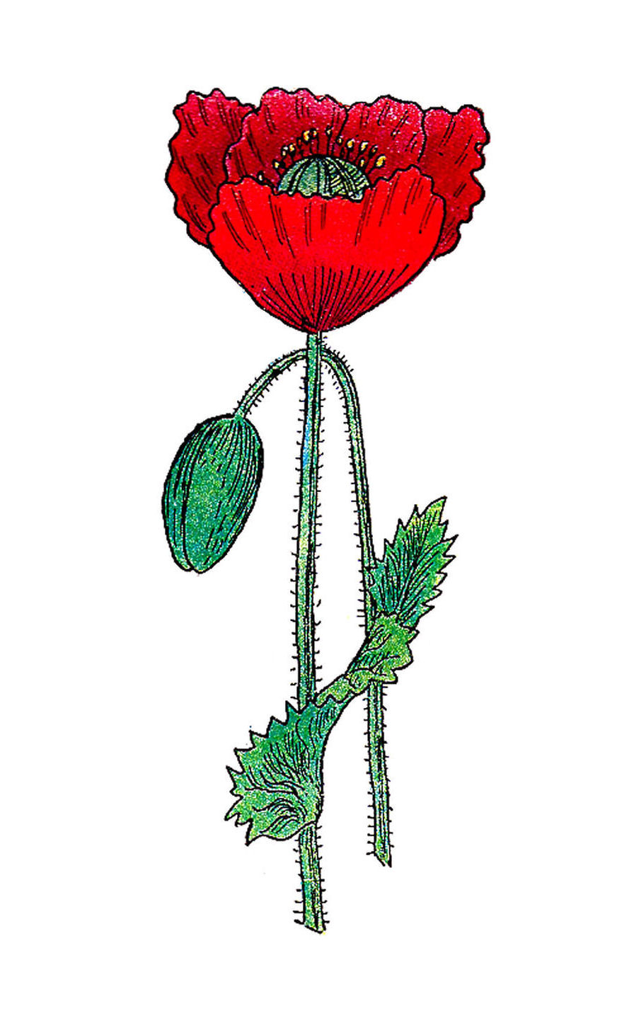 hight resolution of poppies flowers template