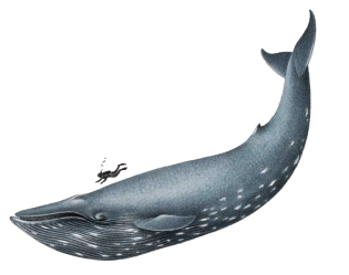 humpback whale clipart cliparts library realistic drawing