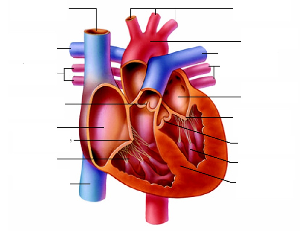 hight resolution of heart diagram unlabeled