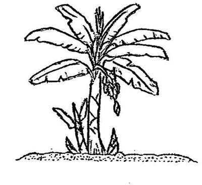 Drawing Of Banana Tree
