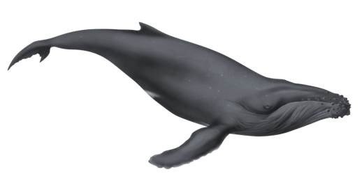 whale humpback illustration clipart deviantart cartoon clip gray cliparts dio whales balance thread official animals 1392