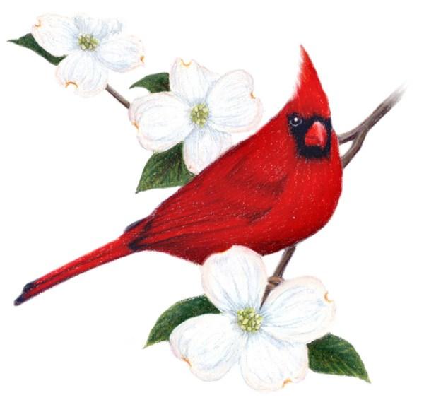 free virginia cardinal cliparts