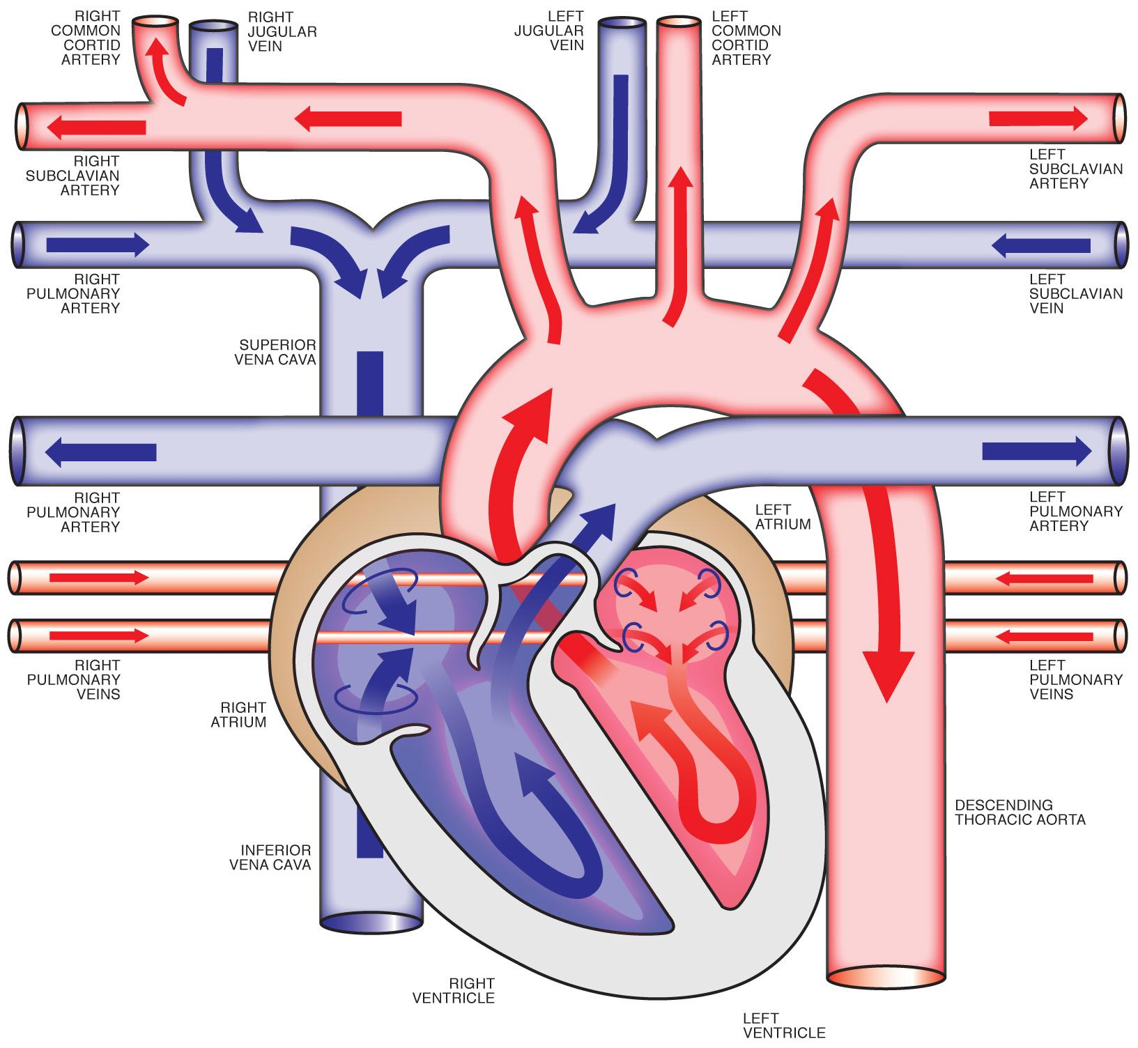 Free Heart Diagram Unlabeled Download Free Clip Art Free