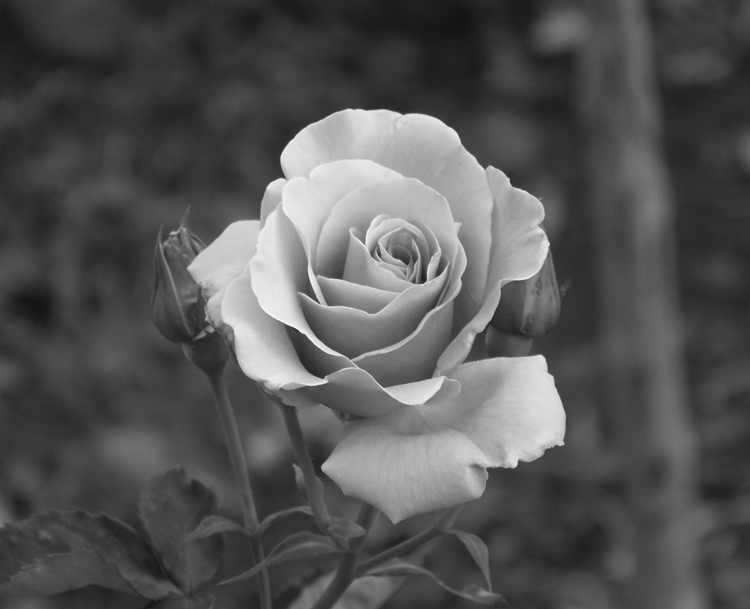 Free Rose Black N White Download Free Clip Art Free Clip Art on Clipart Library