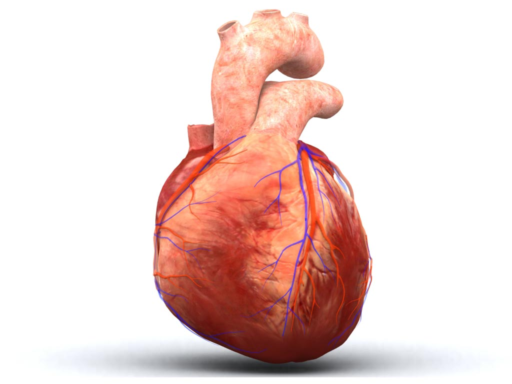 healthy heart diagram 6m fishbone template free human pictures images download clip art