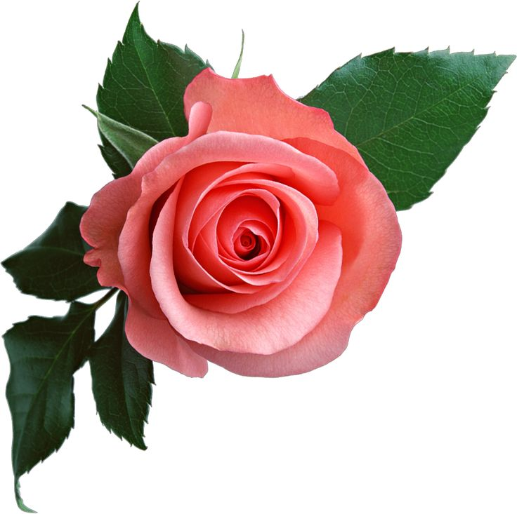 Free Roses Images Free Download Free Clip Art Free Clip