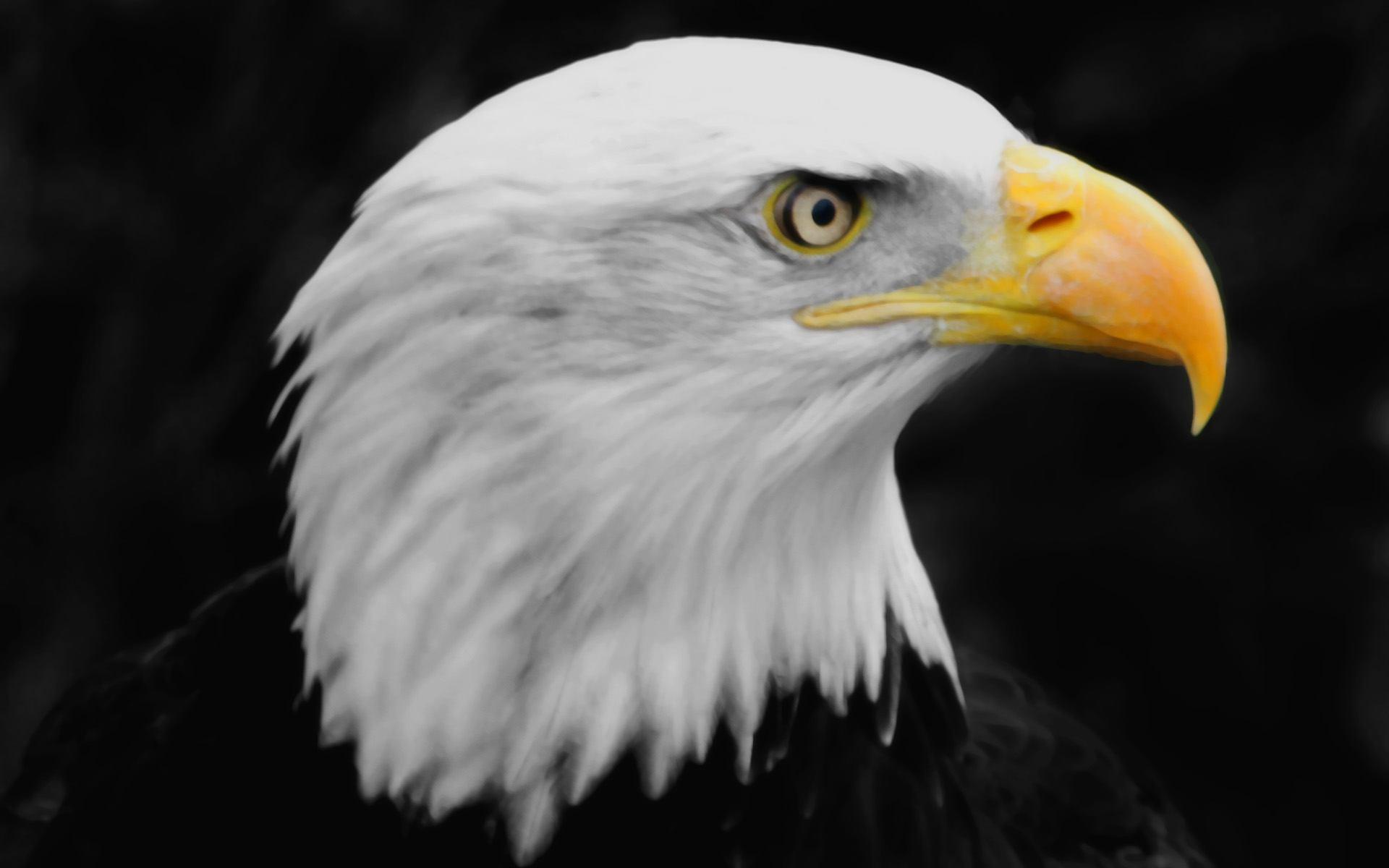 Eagle Head Images Dowload 3d Hd Picture Design Free