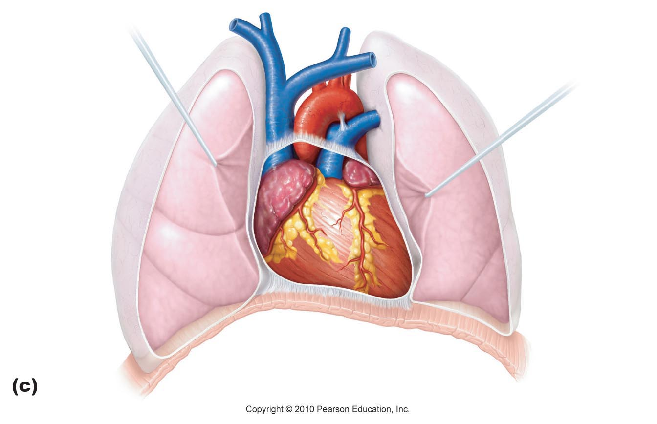 anterior heart diagram unlabeled skin layers labeled simple images for colored clip art library