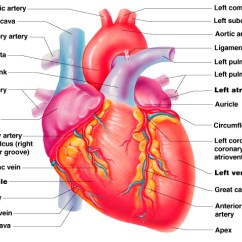 Realistic Heart Diagram 2016 Honda Civic Stereo Wiring Free Human Download Clip Art On Clipart The