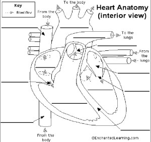Free Unlabeled Heart Diagram, Download Free Clip Art, Free