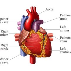 Realistic Heart Diagram How To Read Wiring Diagrams Car Free Human Download Clip Art On Clipart Your Works Howstuffworks
