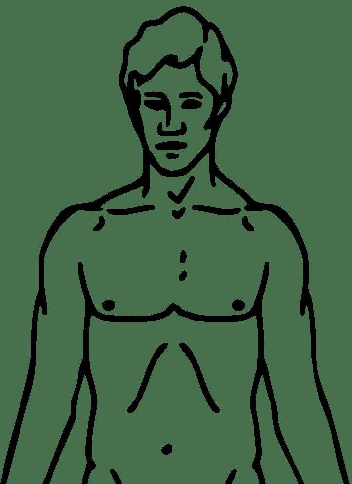 diagram of the human torso