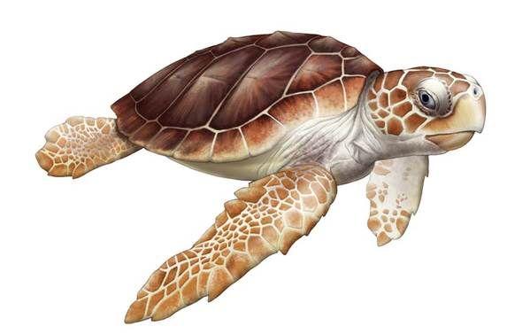 Free Scientific Illustrattion Of Image Of A Sea Turtle