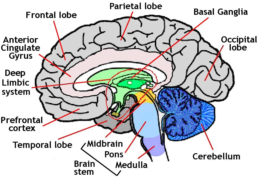 brain diagram inside 7 round pin trailer wiring with brakes anatomy 369 unlabeled thing that you need to