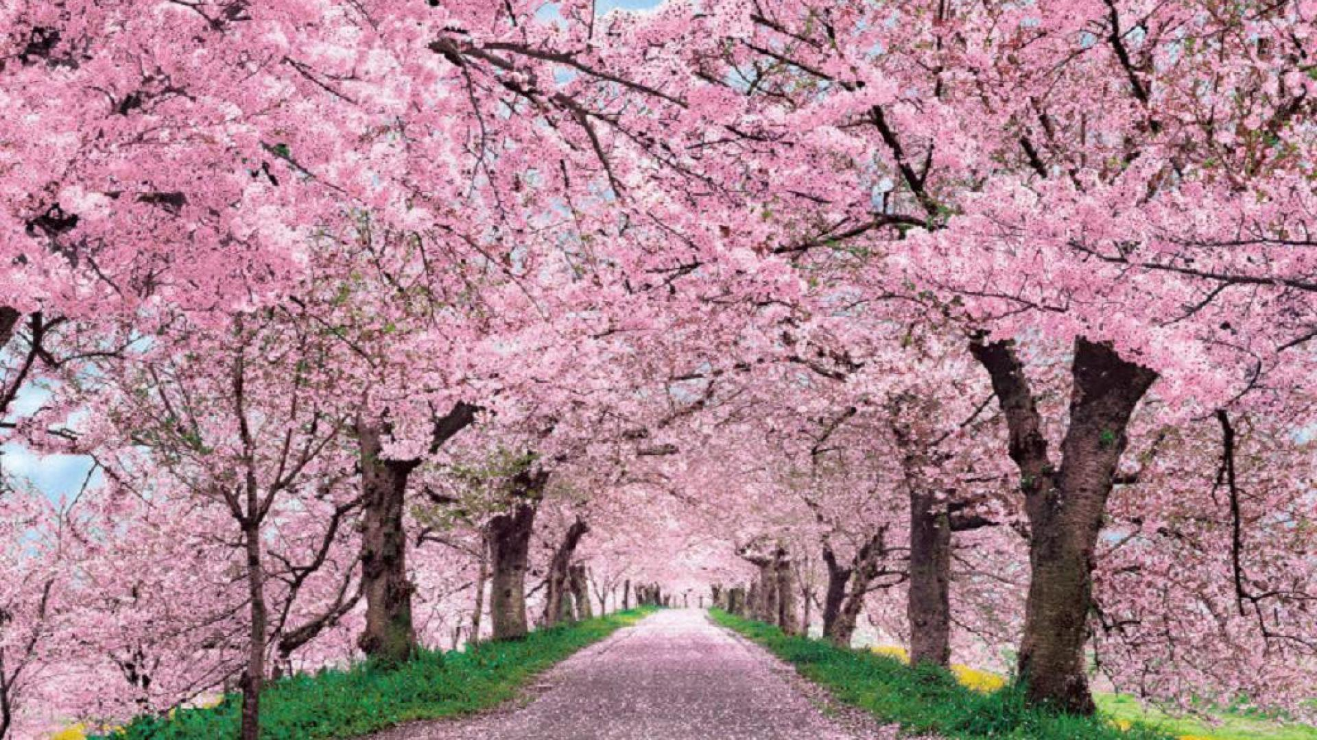 free cherry blossom download