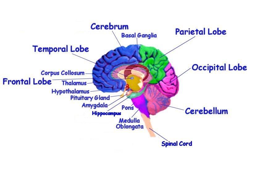 brain diagram inside freak the mighty plot free download clip art on clipart of alzheimer s treatment