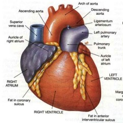 Realistic Heart Diagram Pioneer Wire Free Human Sketch Download Clip Art Katieyunholmes Drawing