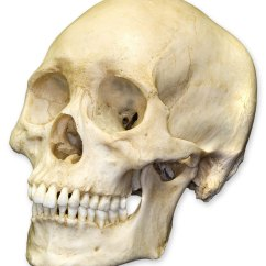 Inside Skull Diagram Kidney Function Real Great Installation Of Wiring Humans Human Skulls Skeletons And By Clip Rh Clipart Library Com Labeled