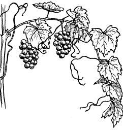 file grapevine 964 psf png wikimedia commons [ 1899 x 1755 Pixel ]