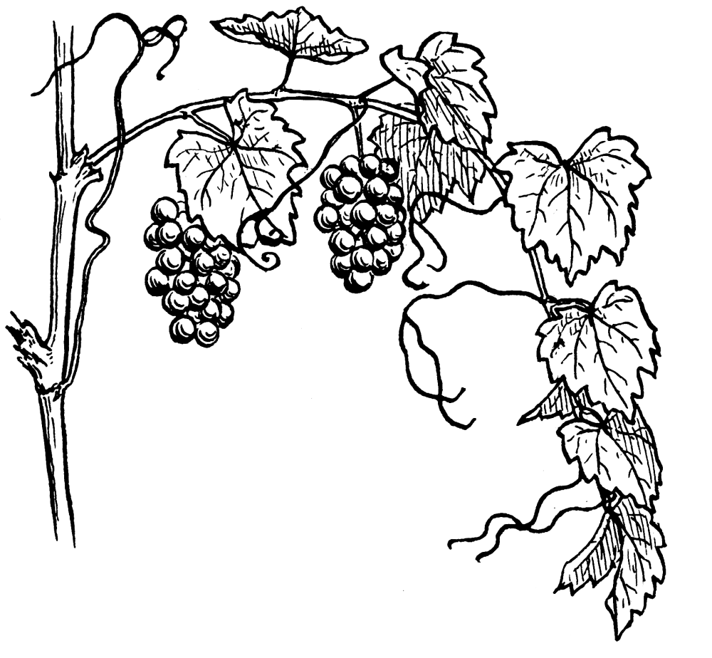 medium resolution of file grapevine 964 psf png wikimedia commons