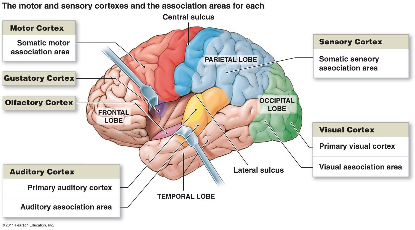 left side brain functions diagram 2009 mitsubishi triton stereo wiring and the cranial nerves clip art library