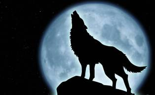 Image of wolf howling at the moon