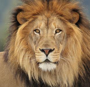 free lion face images