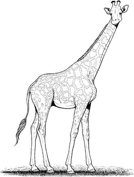 Free Giraffe Line Drawing, Download Free Clip Art, Free