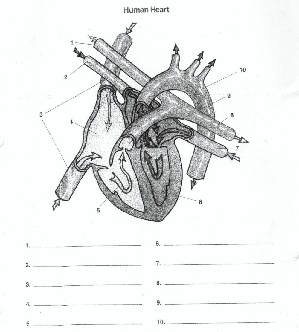 medium resolution of heart diagram unlabeled human anatomy diagram