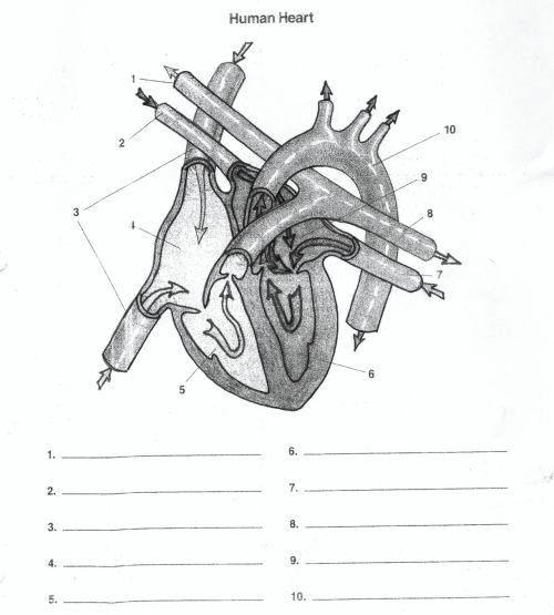 small resolution of heart diagram unlabeled human anatomy diagram